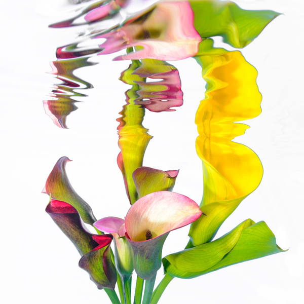 Multi Coloured Cala Lilies reflecting on White 1