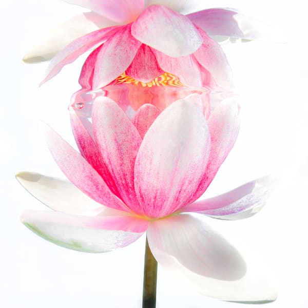Pink Water Lily Reflecting Underwater 2