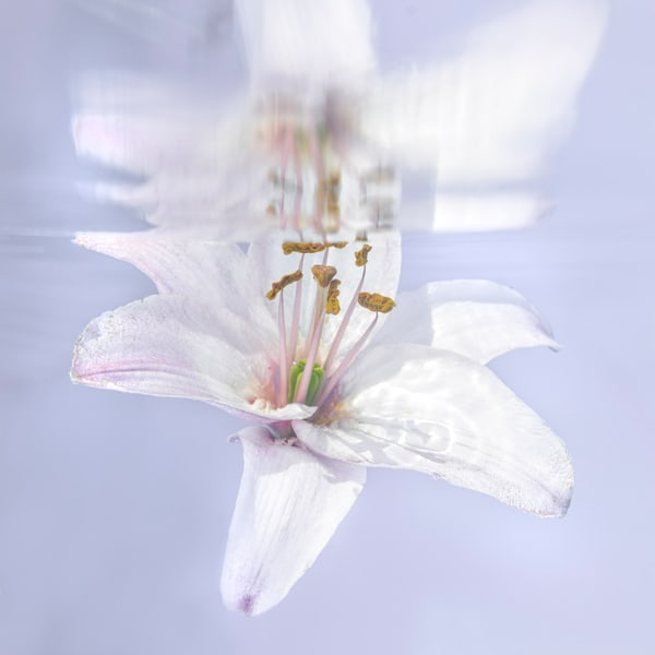 White Lily Reflecting Underwater