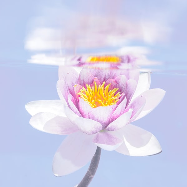 Purple Water Lily Blue Background