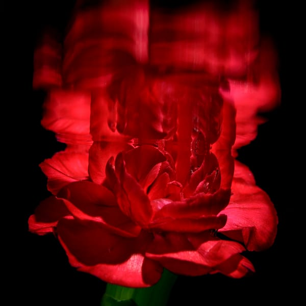 Carnation Glory