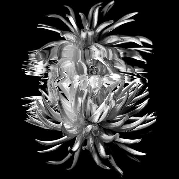 Bombini Dahlia Monochrome