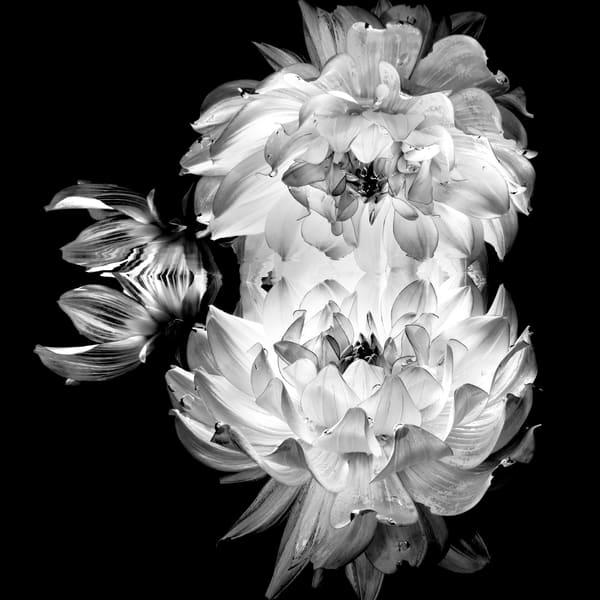 Double Dahlia Monochrome