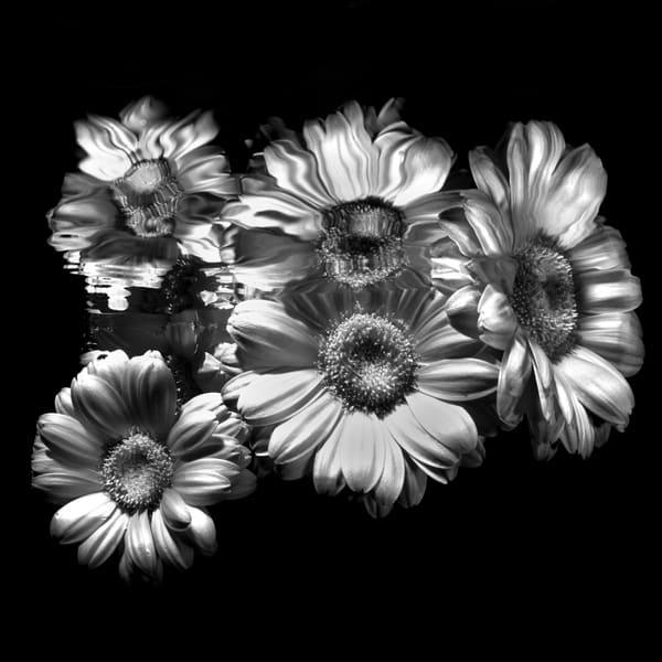 Gerber Daisies Monochrome