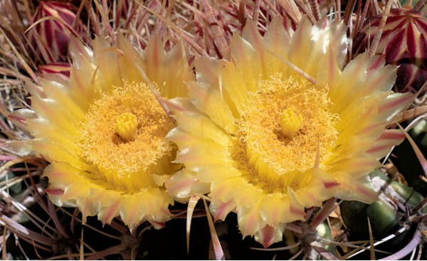 Two Yellow Cactus Flowers