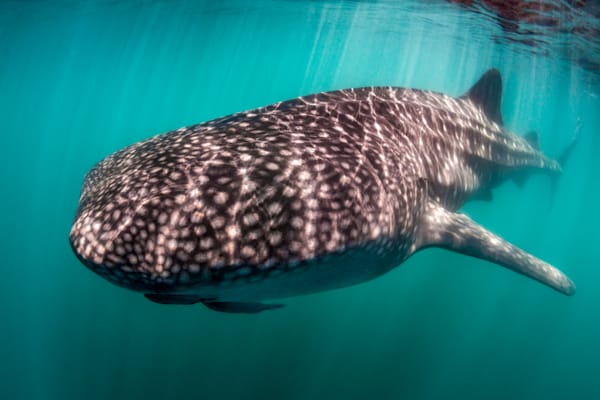 Whale Shark in Colour