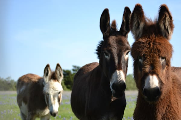 Photograph of Donkeys for Sale as Fine Art