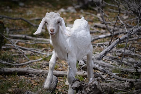 Photograph of a Baby Goat in Texas for Sale as Fine Art