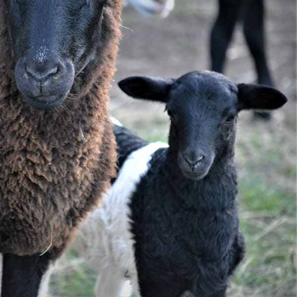 Photograph of Ewe and Lamb for Sale as Fine Art