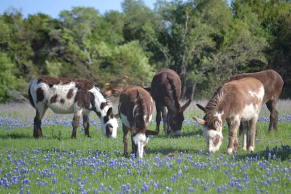 Photograph of a Bluebonnet-laden field and a herd of Colorful Donkeys for sale as Fine Art