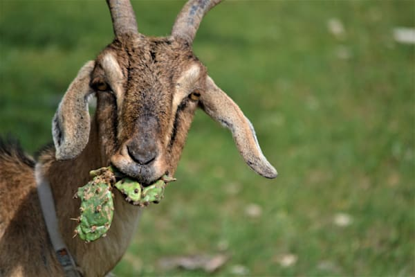 Photograph of a Goat eating a cactus for sale as Fine Art