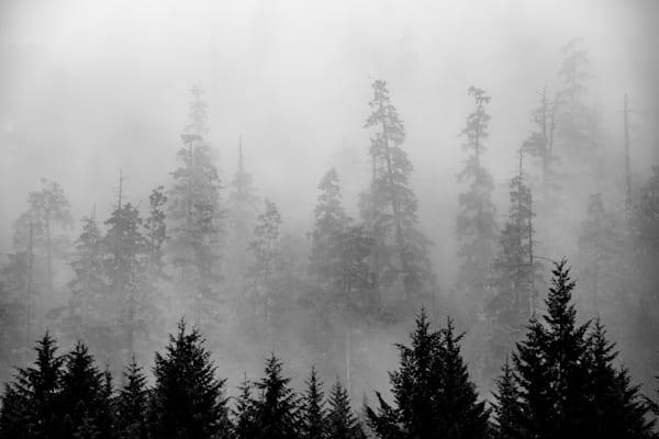 Firs in Fog 1