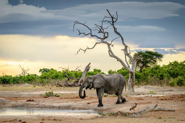 Elephant drinking at sunset