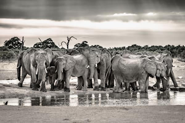 Evening elephant gathering 2