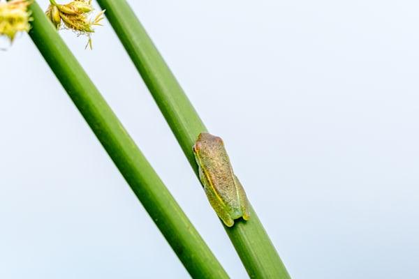 Long Reed Frog