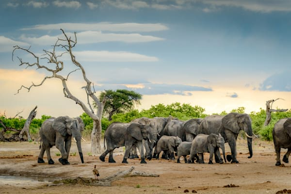 Herd of elephants after drinking
