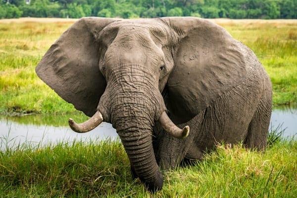 Large bull elephant 5