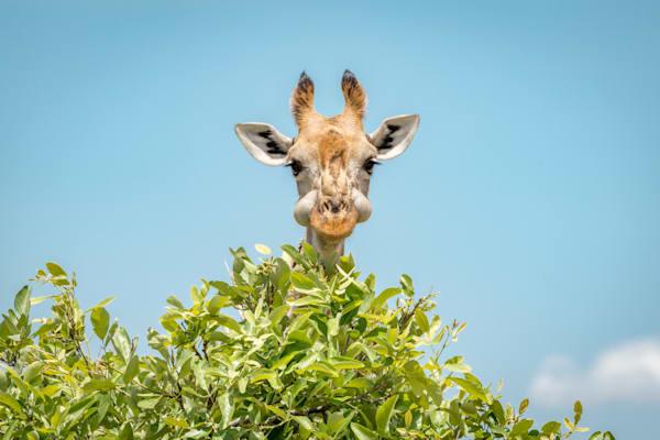 Stuffed Face Giraffe
