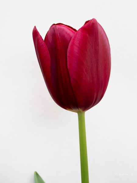 Beautiful red tulip nicely contrasted against a soft grey background.