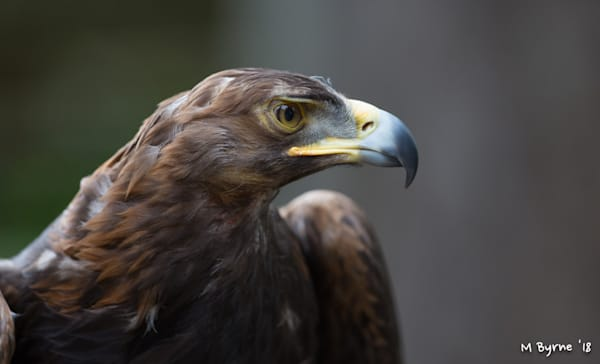 Close up of a golden eagle.