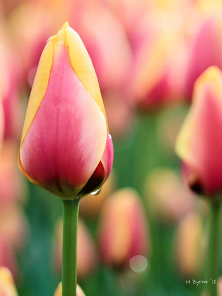 Early morning photograph of a pink and yellow tulip, just before it opens.