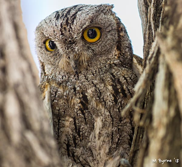 African scops owl resting in the fork of a tree in Etosha National Park, Namibia.