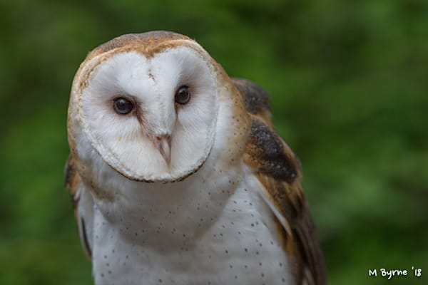Close-up of a barn owl perched in a forest near Duncan, BC.