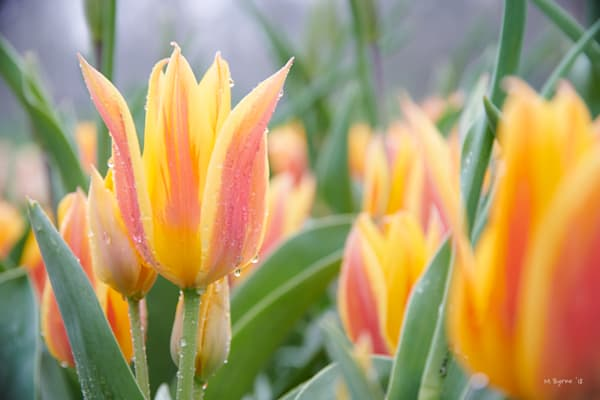 An early morning image of pink and yellow tulips, moments after a short rainfall.