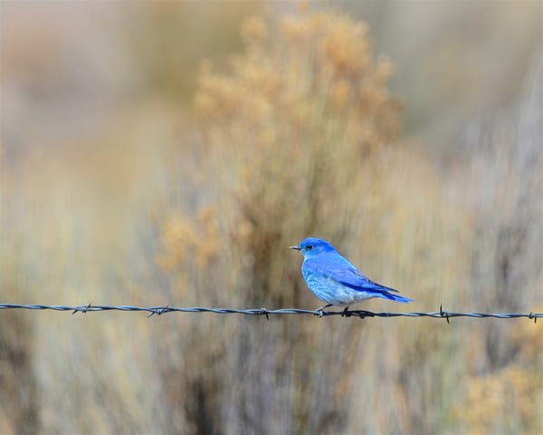 1304 Mountain Bluebird
