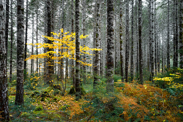 Lone Yellow Alder