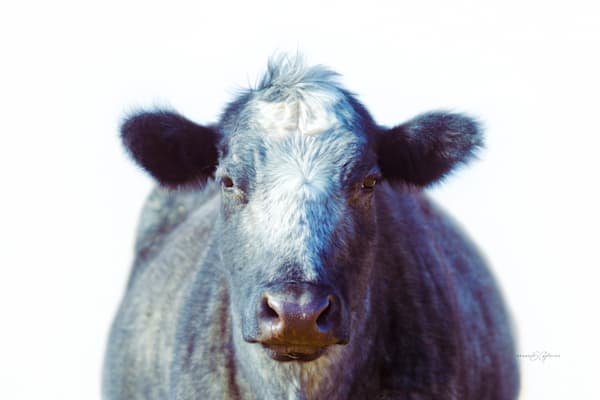 Cow portrait, Blueberry, Western