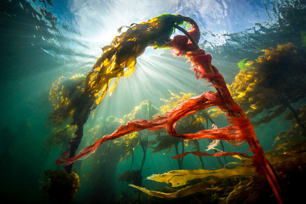 Kelp Dancer