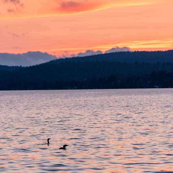 Two Loons cruising 4th Lake in the Adirondacks.