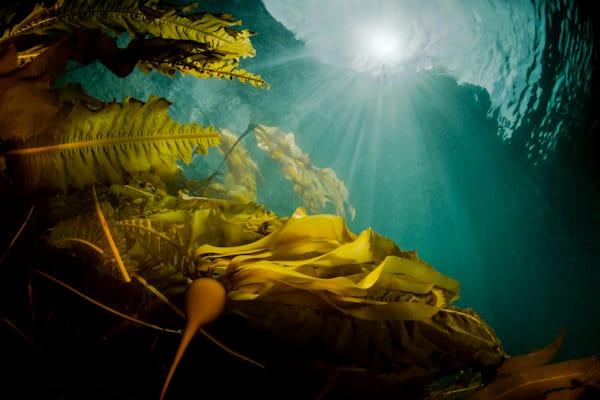 Cerulean Kelp