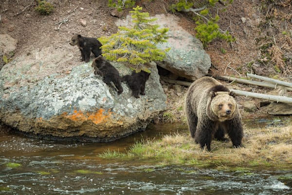 Grizzly Sow With Triplets Photography Art   Swan Valley Photo