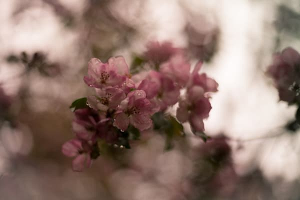Blossoms In The Rain Photography Art | Sage & Balm Photography