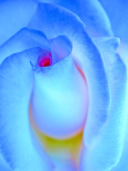 Rosebud Photography Art | alexanderblackphotography