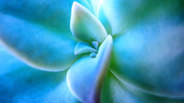 Succulent Dew
