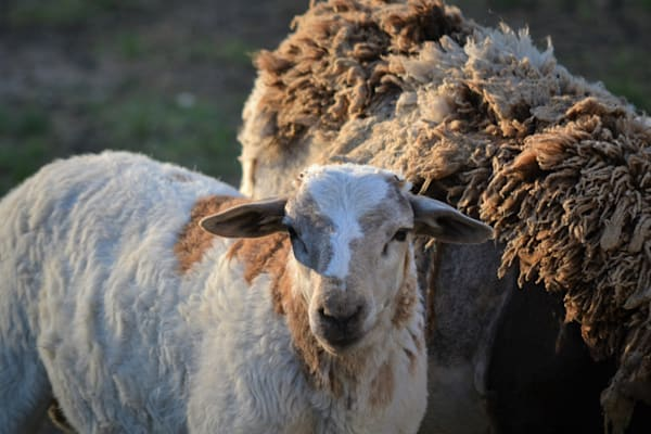 Photograph of a Shedding Hair Sheep and Lamb for sale as Fine Art