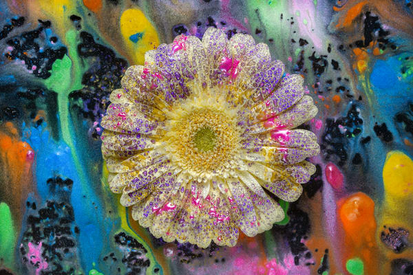 Macro floral art, macro flower photography, yellow Gerber Daisies,