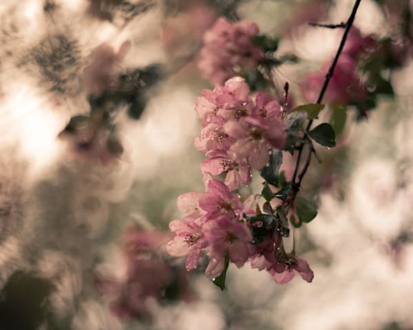 Rain Blossoms Photography Art | Sage & Balm Photography