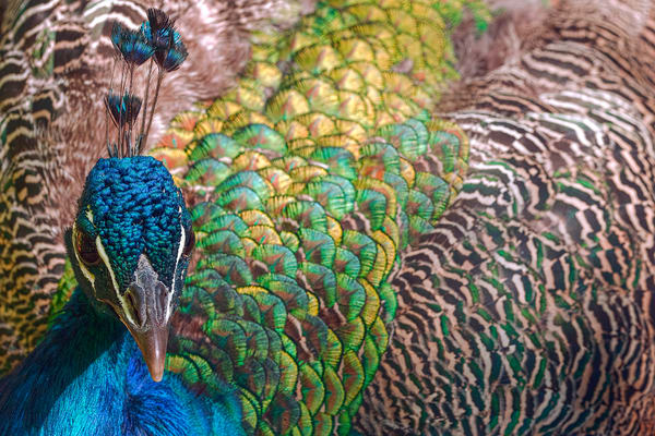 art photographs of male peacock birds