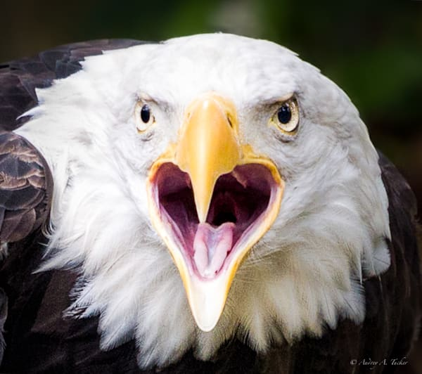 The Cry of the Eagle Fine Art Photograph