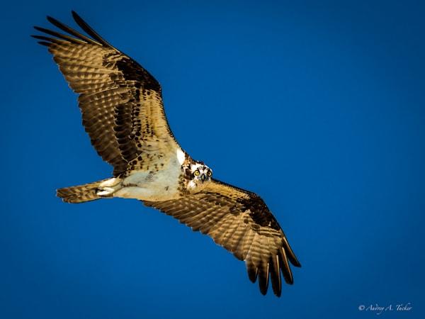 The Eye Of The Osprey Fine Art Photograph