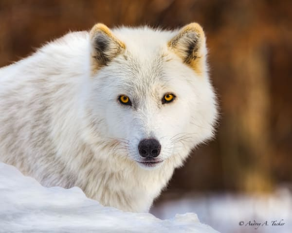 Le Loup Blanc Fine Art Photograph