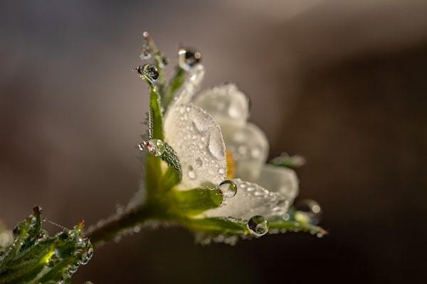 Flower Dew, Canvas Prints, Framed Prints, Wall Peels | Canvas.ca