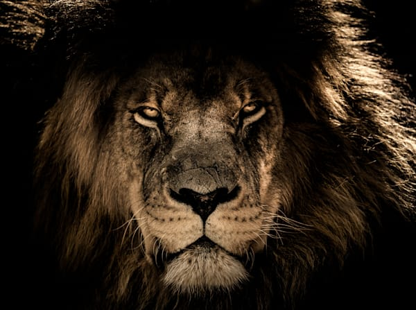 african-lion-2888519