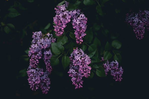 Moody Lilacs Photography Art | Sage & Balm Photography