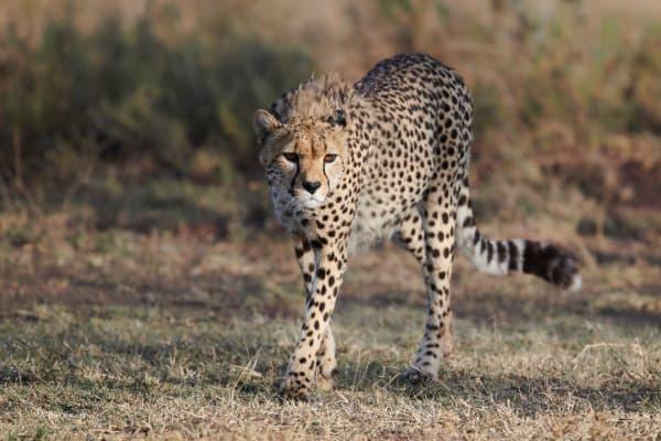 Prowling cheetah near Ndutu Lake, Tanzania