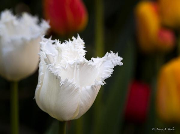 Fluffy White Flower Fine Art Photograph